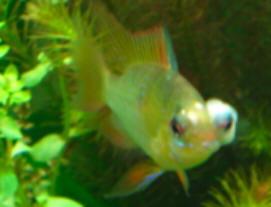 Faqs On Freshwater Popeye Aka Exophthalmia Other Eye Issues